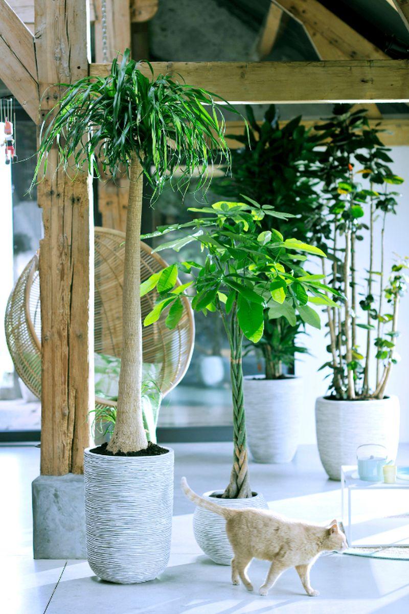 adelaparvu.com despre Pachira, planta de interior, Text Carli Marian (2)