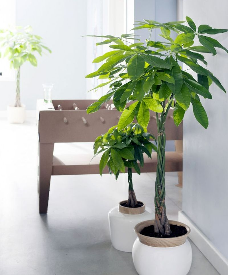 Pachira aquatica planta care i aduce noroc adela p rvu for Plante de interior