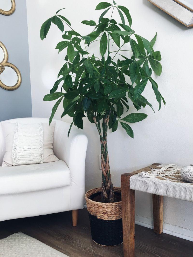 adelaparvu.com despre Pachira, planta de interior, Text Carli Marian (6)