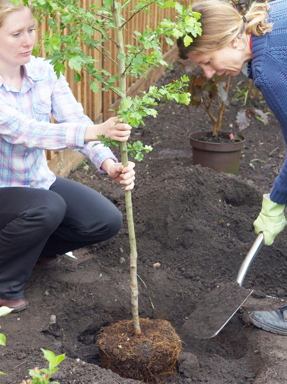 adelaparvu-com-despre-plantarea-copacilor-si-pomilor-in-gradina-text-carli-marian-7