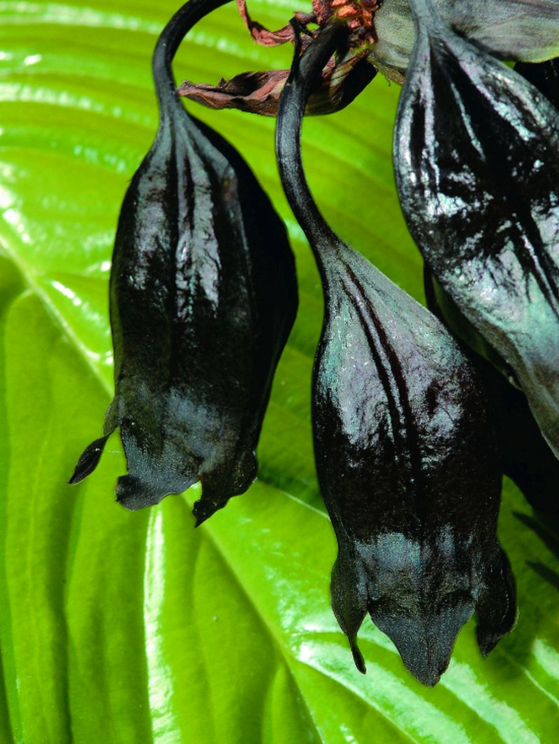 adelaparvu-com-despre-planta-liliac-sau-frumusetea-intunericului-text-carli-marian