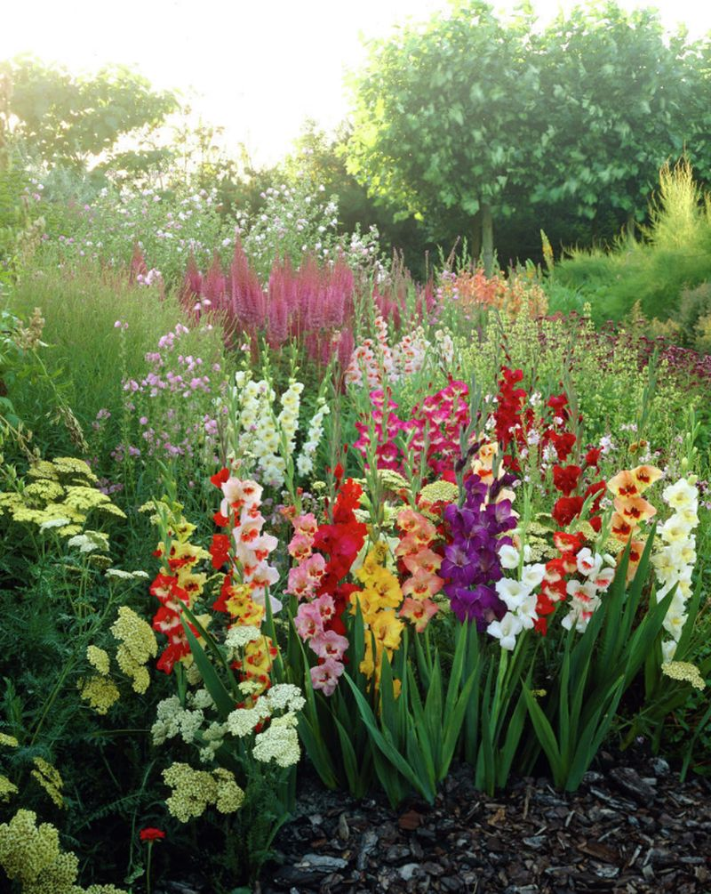 adelaparvu-com-despre-iernarea-plantelor-bulboase-text-carli-marian-in-foto-gladiolus-butterfly