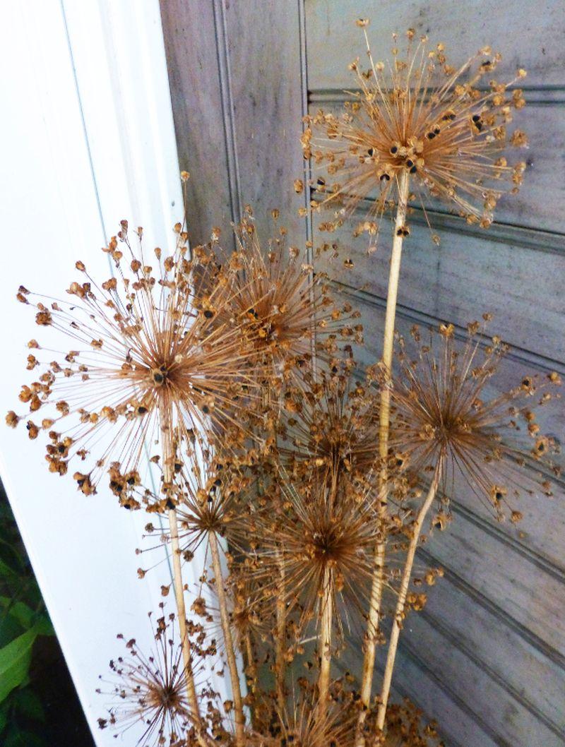 adelaparvu-com-despre-plante-care-fac-gradina-frumoasa-toamna-si-iarna-text-carli-marian-in-foto-allium-christophii-2