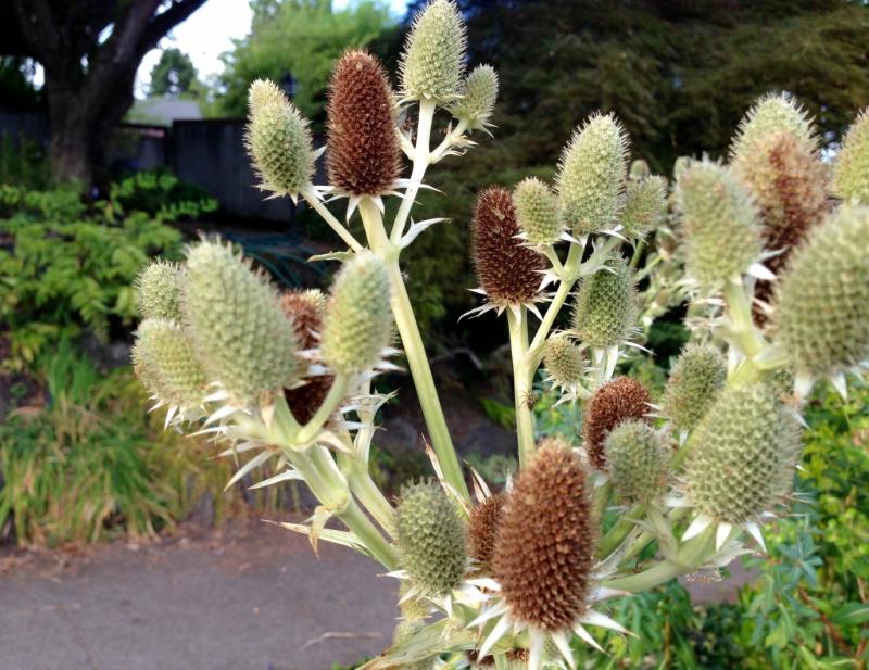adelaparvu-com-despre-plante-care-fac-gradina-frumoasa-toamna-si-iarna-text-carli-marian-in-foto-eryngium-2