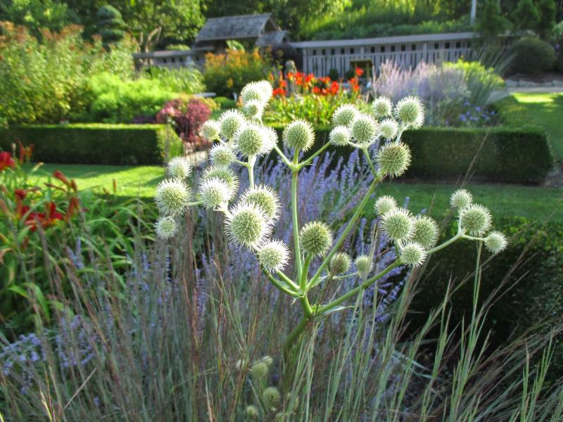 adelaparvu-com-despre-plante-care-fac-gradina-frumoasa-toamna-si-iarna-text-carli-marian-in-foto-eryngium-yuccifolium-1