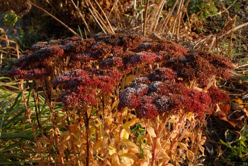 adelaparvu-com-despre-plante-care-fac-gradina-frumoasa-toamna-si-iarna-text-carli-marian-in-foto-sedum