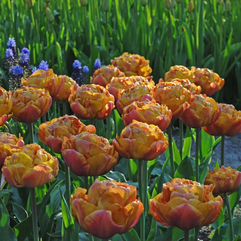 adelaparvu-com-dspre-plantare-bulbilor-de-primavara-text-carli-marian-3