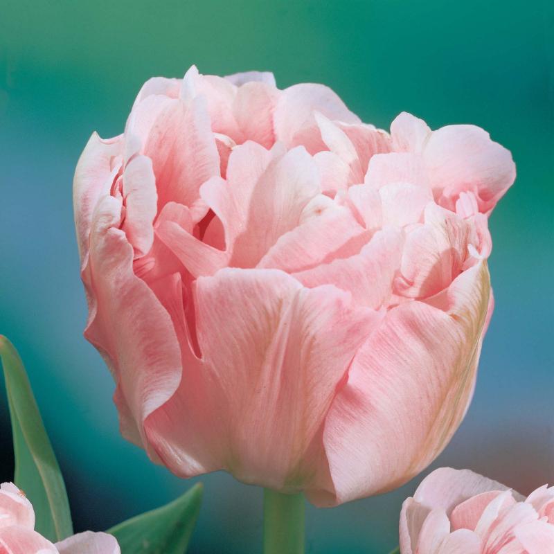 adelaparvu-com-dspre-plantare-bulbilor-de-primavara-text-carli-marian-in-foto-tulip-double-angelique
