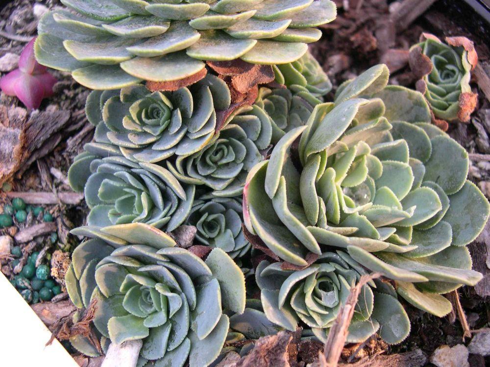 adelaparvu-com-despre-plante-suculente-rezistente-la-frig-text-carli-marian-in-foto-rosularia-sempervivum-glaucophylla