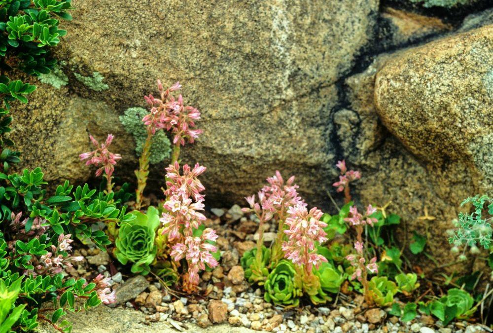adelaparvu-com-despre-plante-suculente-rezistente-la-frig-text-carli-marian-in-foto-rosularia-sempervivum