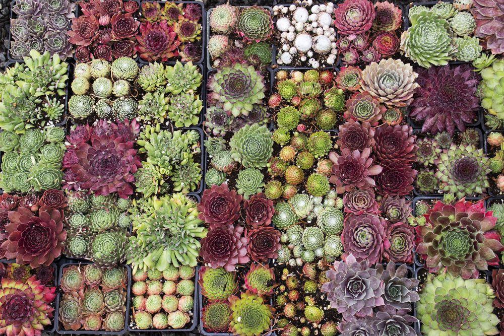adelaparvu-com-despre-plante-suculente-rezistente-la-frig-text-carli-marian-in-foto-sempervivum-2