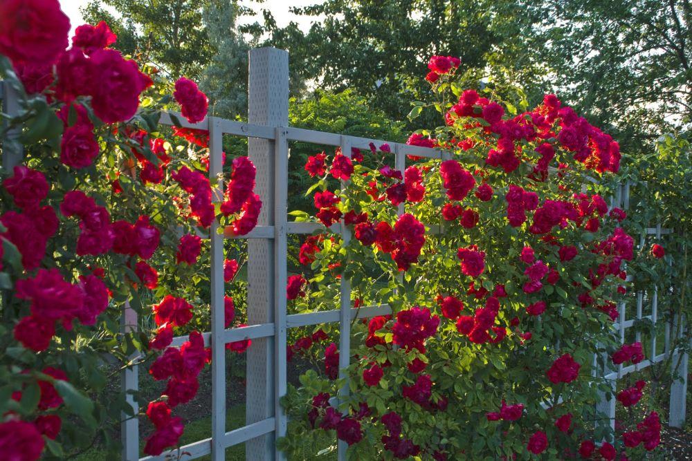 adelaparvu-com-despre-pregatirea-trandafirilor-tufa-pentru-iernat-text-carli-marian-3