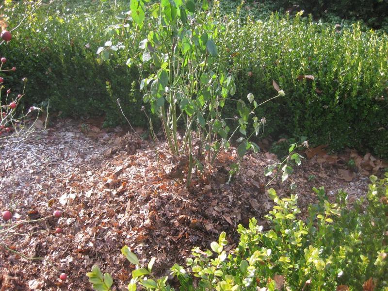 adelaparvu-com-despre-pregatirea-trandafirilor-tufa-pentru-iernat-text-carli-marian-5