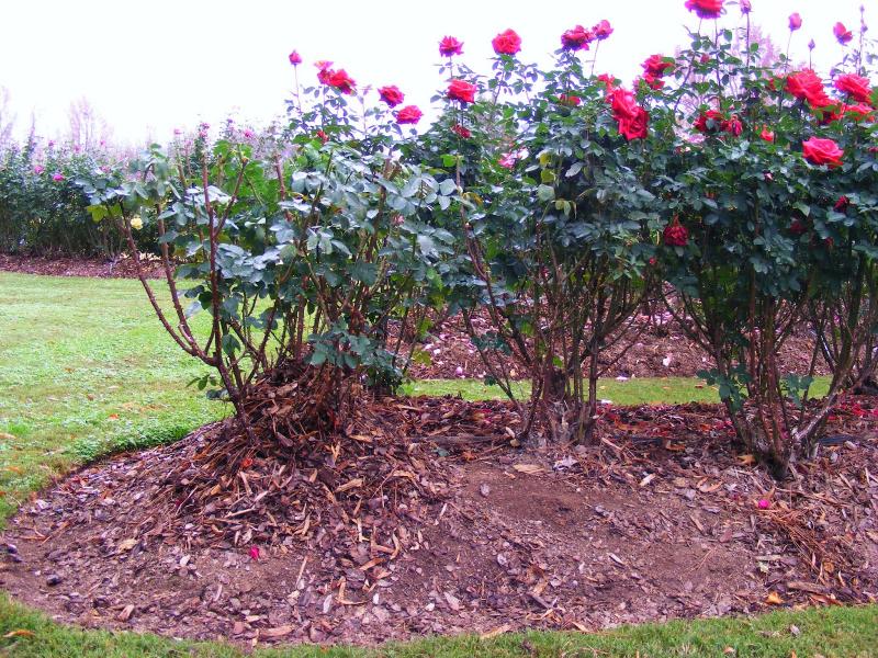 adelaparvu-com-despre-pregatirea-trandafirilor-tufa-pentru-iernat-text-carli-marian-6