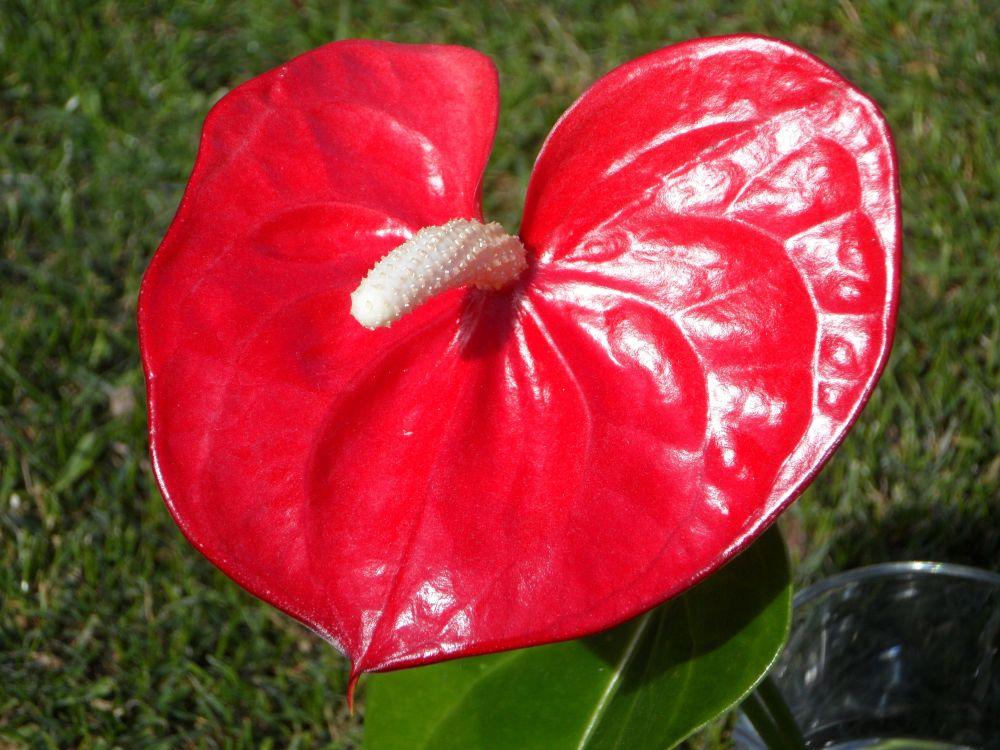 adelaparvu.com despre plante simboluri ale iubirii, Text Carli Marian, In Foto Anthurium (3)
