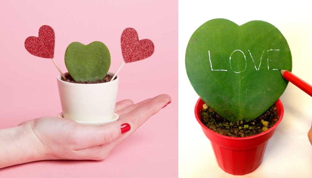 adelaparvu.com despre plante simboluri ale iubirii, Text Carli Marian, In Foto Hoya kerry (1)