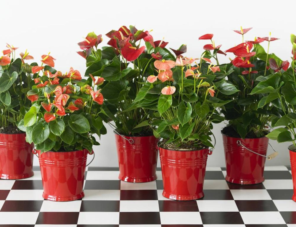 adelaparvu.com despre plante simboluri ale iubirii, Text Carli Marian, In Foto Hoya kerry (2)