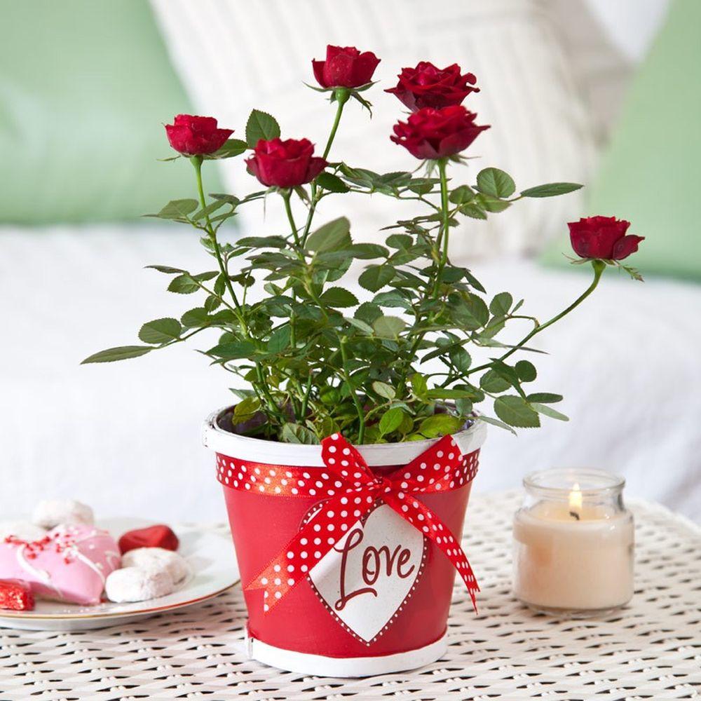 adelaparvu.com despre plante simboluri ale iubirii, Text Carli Marian, In Foto trandafiri pitici (2)