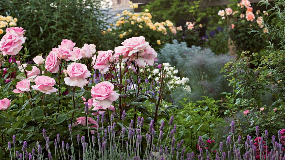 adelaparvu.com despre taierea de primavara a trandafirilor, Text Carli Marian (11)