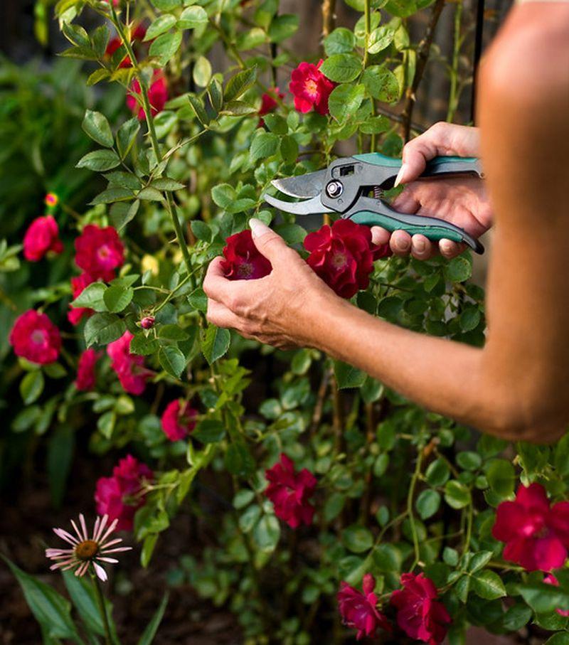 adelaparvu.com despre taierea de primavara a trandafirilor, Text Carli Marian (7)
