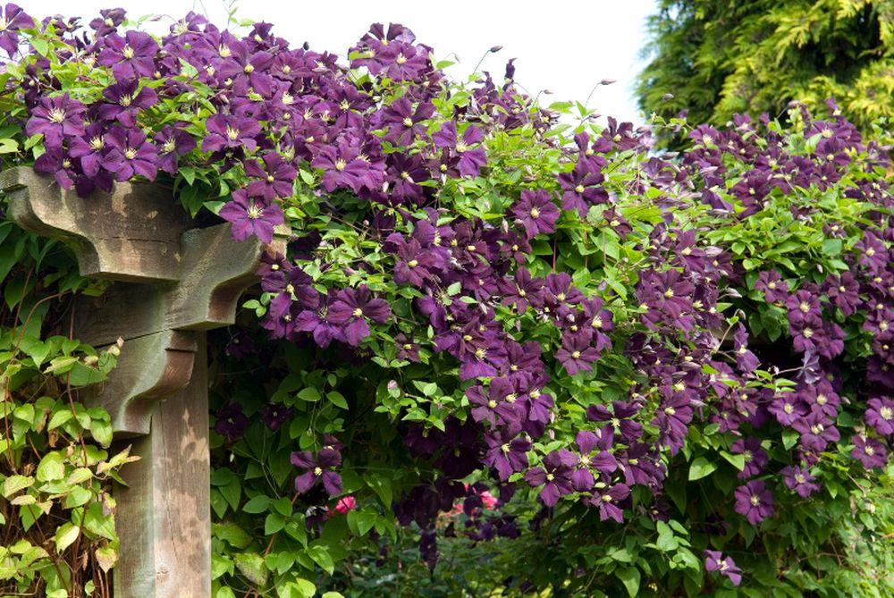 Clematis 'Etoile Violette' rambling across top of pergola