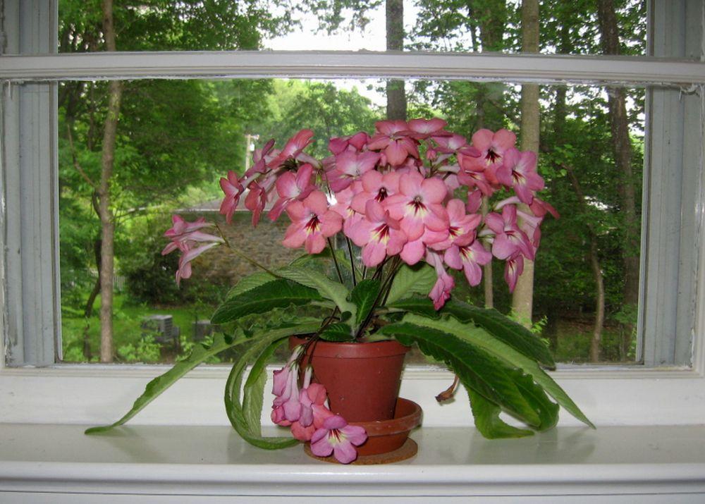 adelaparvu.com despre Streptocarpusul sau primula africana, Text Carli Marian (5)