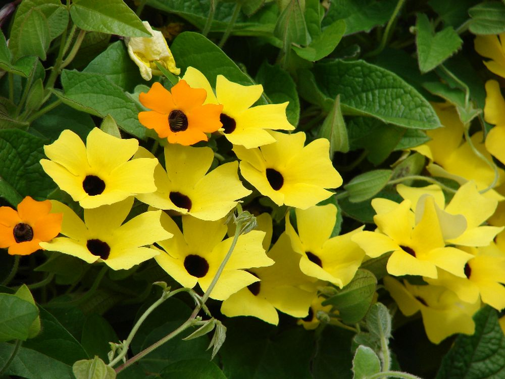 adelaparvu.com despre top 5 plante cataratoare, Text Carli Marian, In foto Thunbergia Alata (2)