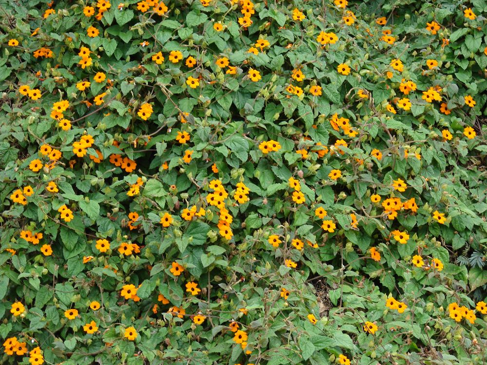 adelaparvu.com despre top 5 plante cataratoare, Text Carli Marian, In foto Thunbergia Alata (4)