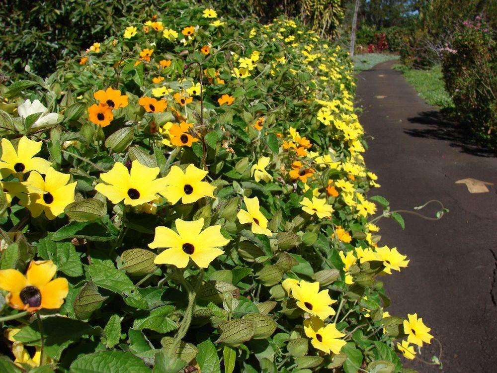 adelaparvu.com despre top 5 plante cataratoare, Text Carli Marian, In foto Thunbergia Alata (5)