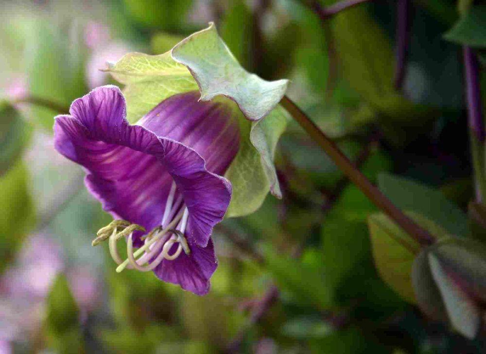 adelaparvu.com top 5 plante cataratoare, Text Carli Marian, In foto Cobaea Scandens (3)