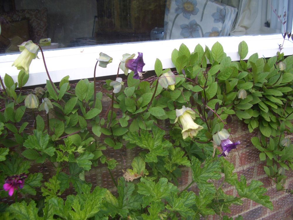 adelaparvu.com top 5 plante cataratoare, Text Carli Marian, In foto Cobaea Scandens (4)