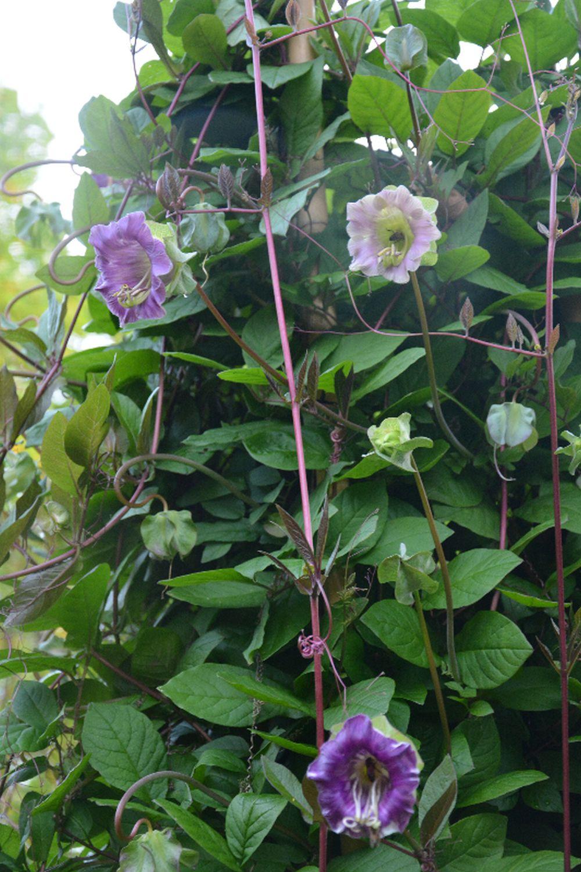 adelaparvu.com top 5 plante cataratoare, Text Carli Marian, In foto Cobaea Scandens (6)