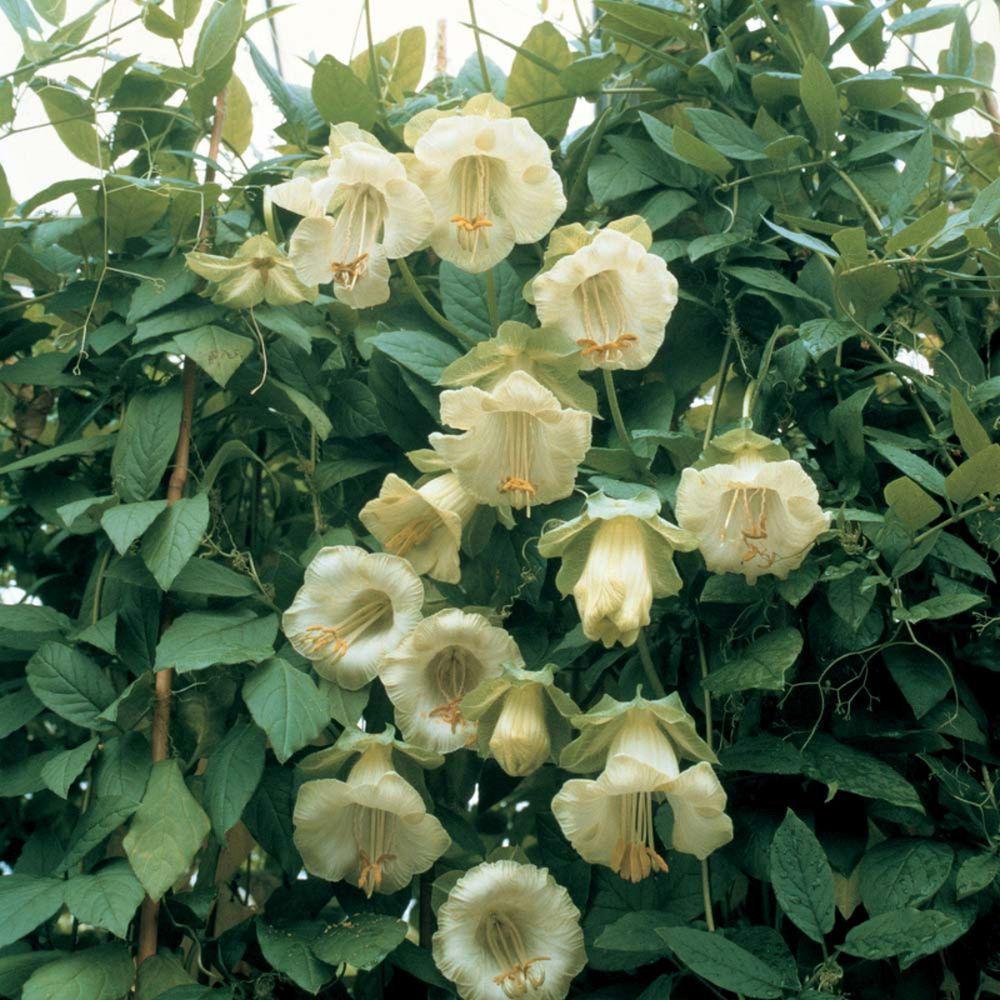 adelaparvu.com top 5 plante cataratoare, Text Carli Marian, In foto Cobaea Scandens (7)