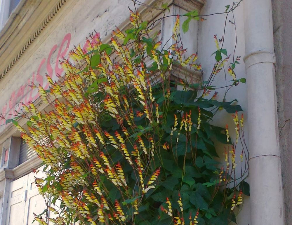 adelaparvu.com top 5 plante cataratoare, Text Carli Marian, In foto Ipomoea Lobata (2)