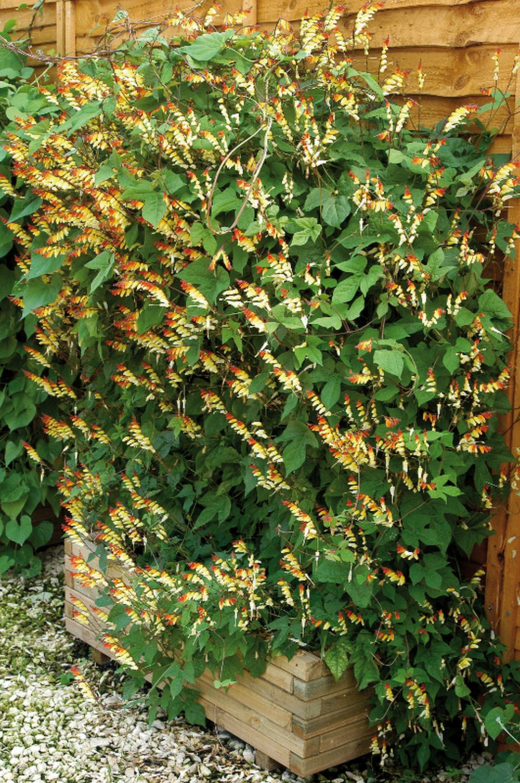 adelaparvu.com top 5 plante cataratoare, Text Carli Marian, In foto Ipomoea Lobata (3)
