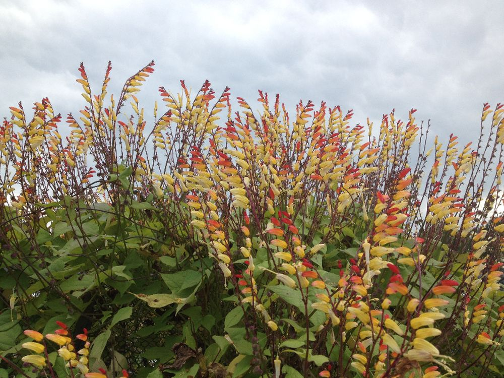 adelaparvu.com top 5 plante cataratoare, Text Carli Marian, In foto Ipomoea Lobata (4)