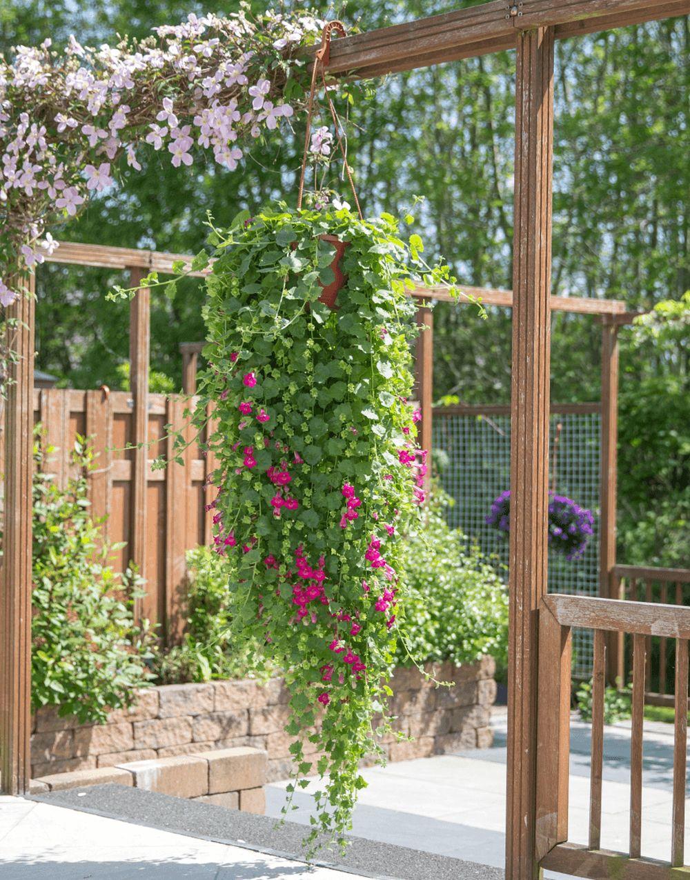 adelaparvu.com top 5 plante cataratoare, Text Carli Marian, In foto Lophospermum (1)