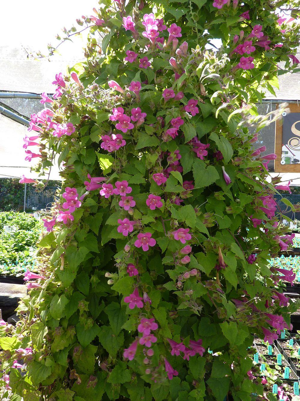 adelaparvu.com top 5 plante cataratoare, Text Carli Marian, In foto Lophospermum (3)