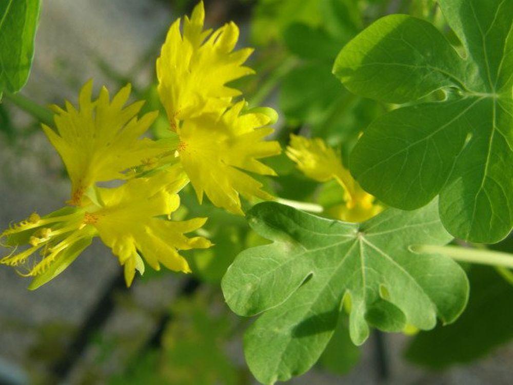 adelaparvu.com top 5 plante cataratoare, Text Carli Marian, In foto Tropaeolum Peregrinum (3)