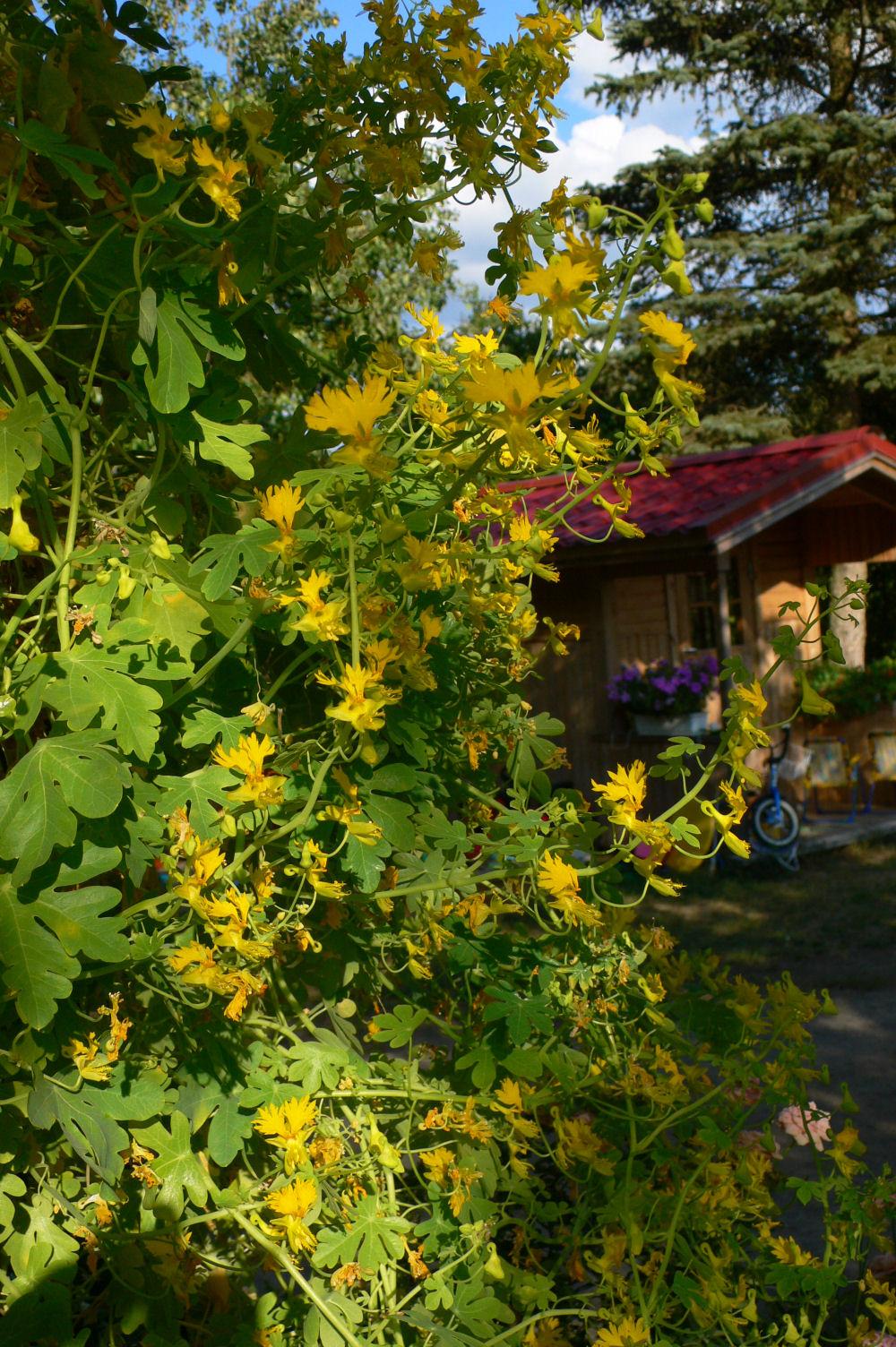 adelaparvu.com top 5 plante cataratoare, Text Carli Marian, In foto Tropaeolum Peregrinum (4)