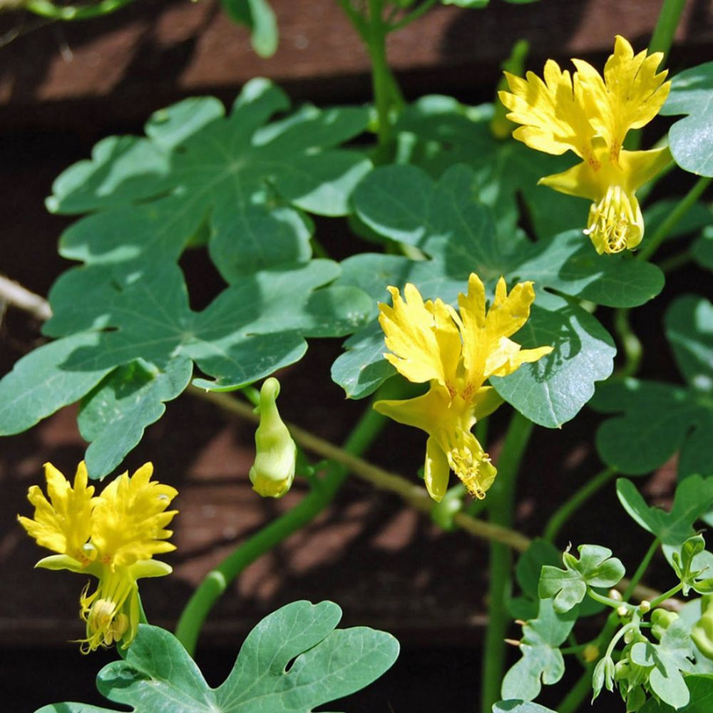 adelaparvu.com top 5 plante cataratoare, Text Carli Marian, In foto Tropaeolum Peregrinum (5)