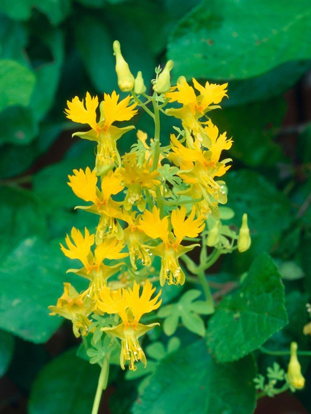 adelaparvu.com top 5 plante cataratoare, Text Carli Marian, In foto Tropaeolum Peregrinum (6)