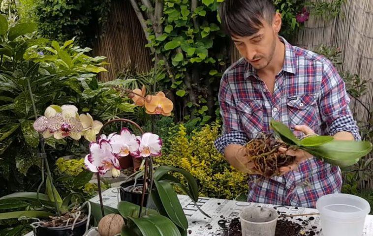 adelaparvu.com despre schimbarea ghiveciului la orhidee, in foto Carli Marian inginer horticol si designer florist