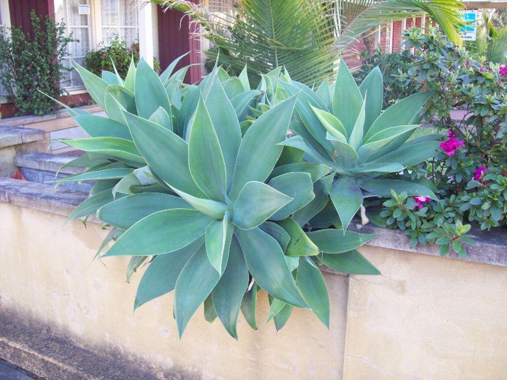 adelaparvu.com despre agave, Text Carli Marian (2)