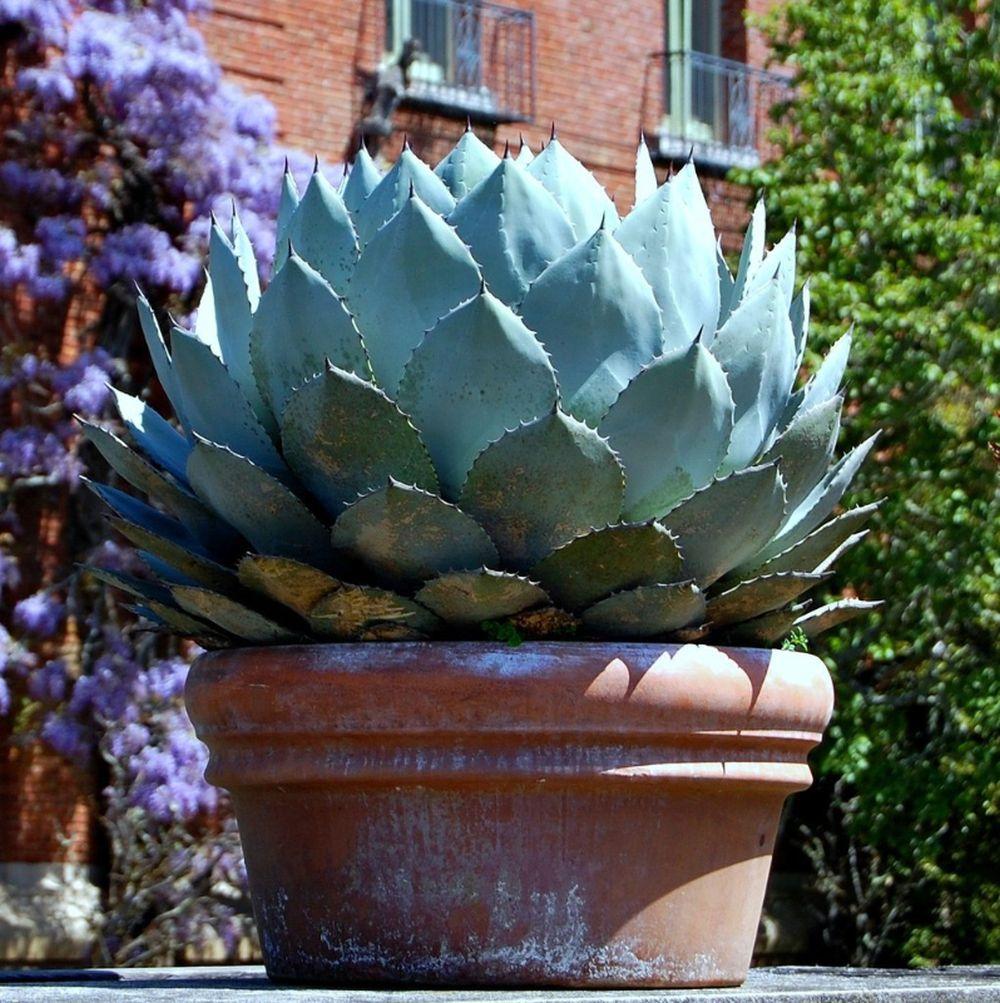 adelaparvu.com despre agave, Text Carli Marian (3)