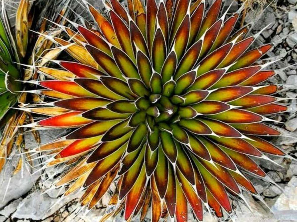 adelaparvu.com despre agave, Text Carli Marian (4)