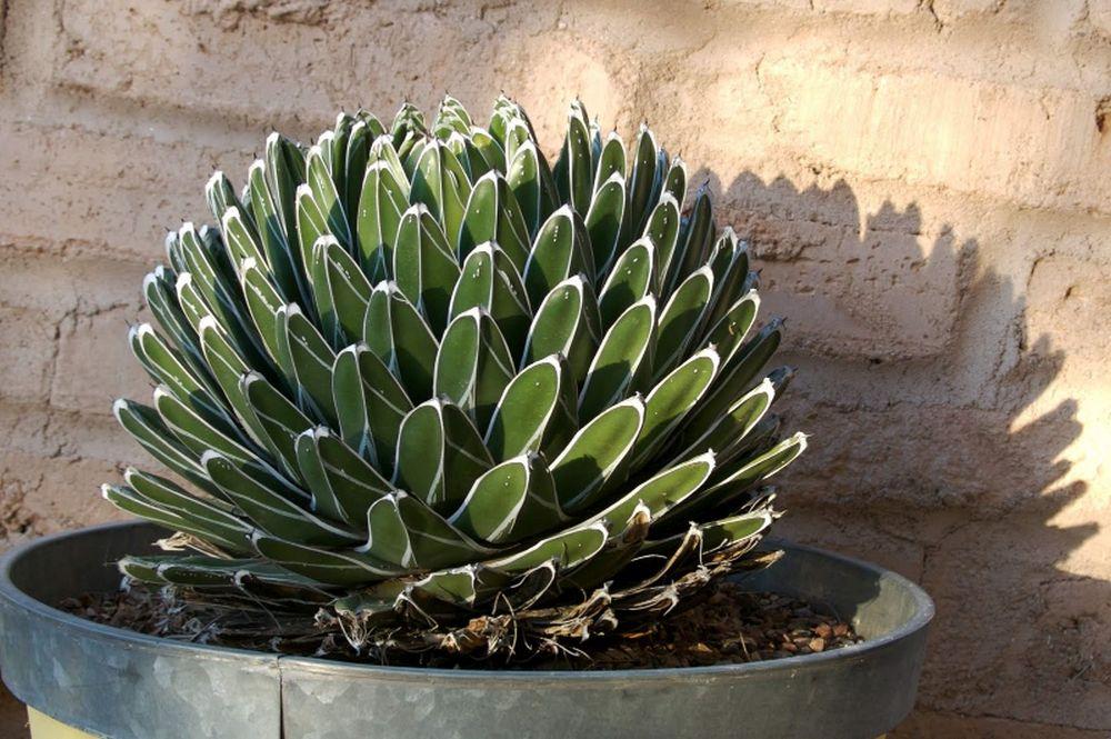 adelaparvu.com despre agave, Text Carli Marian (5)