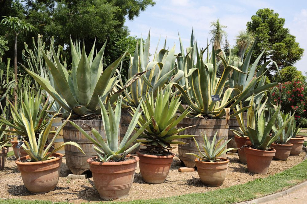Details of many variety of potted agave in garden.