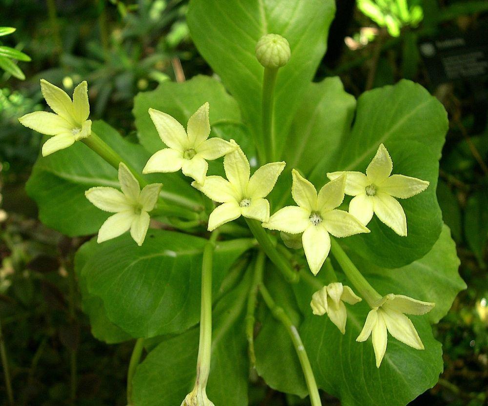 adelaparvu.com despre palmierul hawaiian, Brighamia insignis, Text Carli Marian (12)