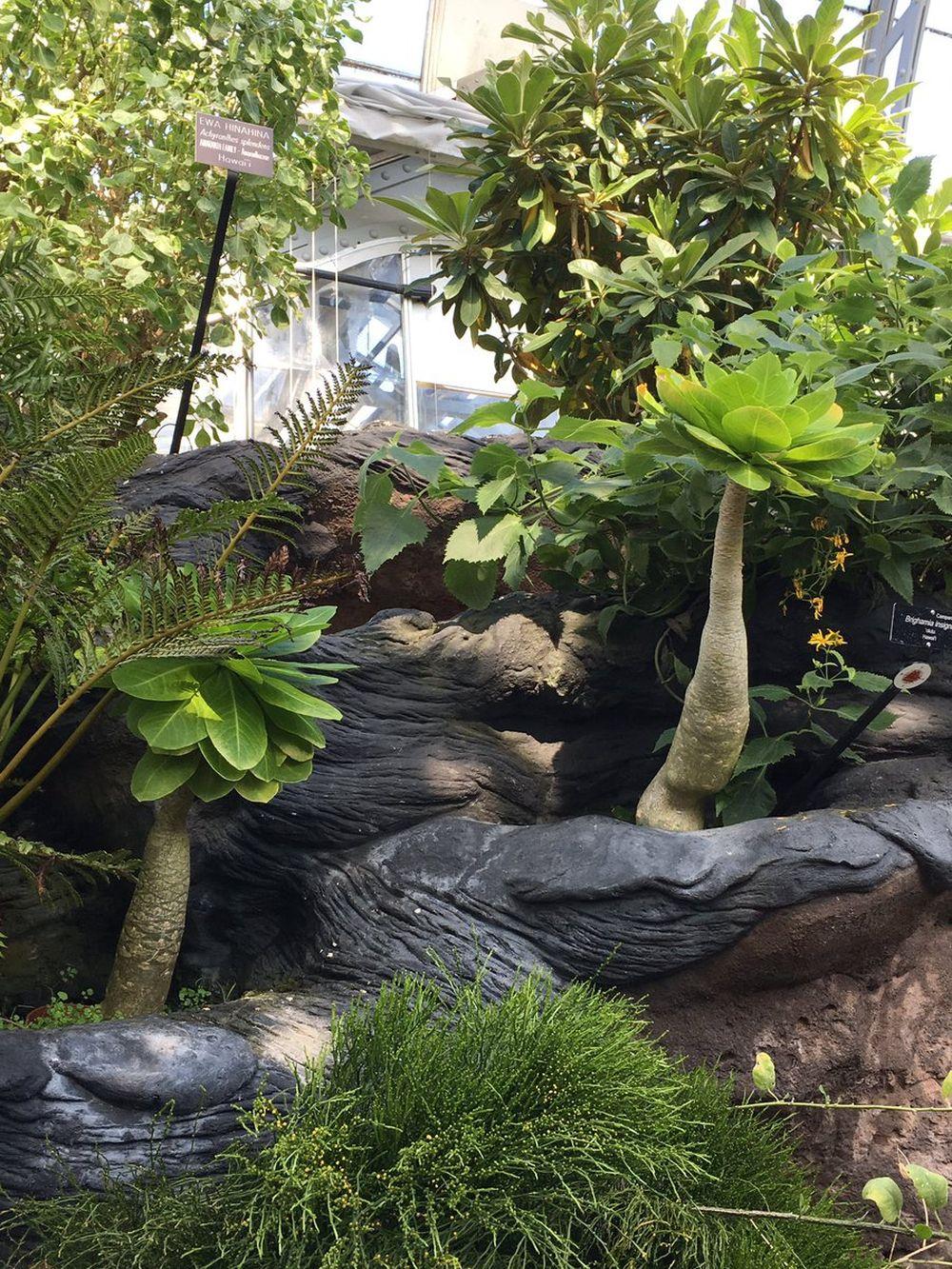 adelaparvu.com despre palmierul hawaiian, Brighamia insignis, Text Carli Marian (5)